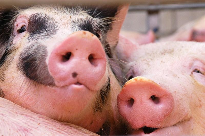 Vergoeding varkensrecht saneringsregeling vastgesteld