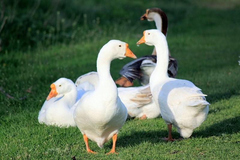 Aanmelden percelen voor tegemoetkoming ganzenschade