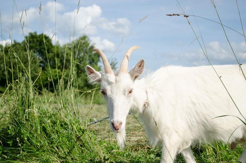 Registratie antibioticagebruik geiten vanaf 1 april
