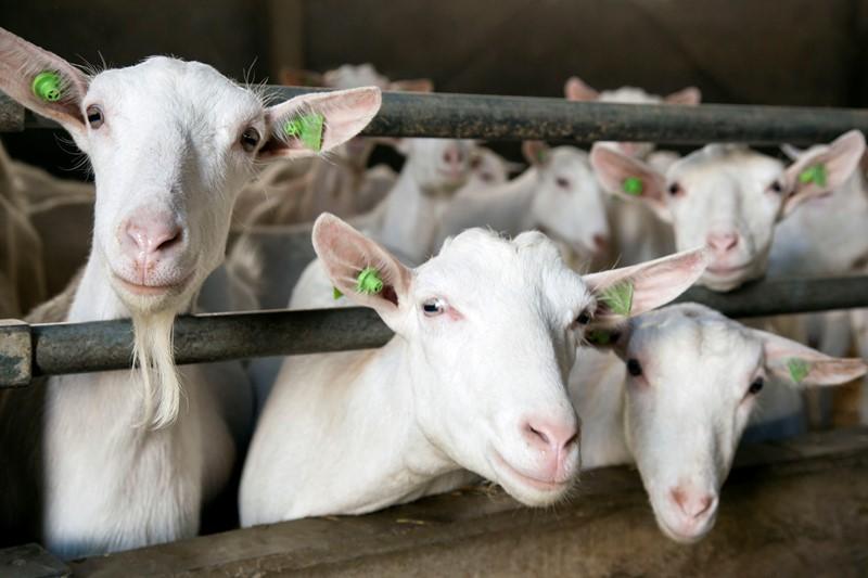 Wijziging I&R-regelgeving geiten