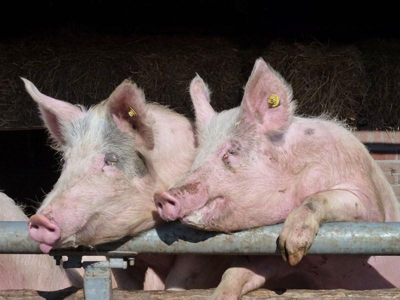 Concept Subsidieregeling sanering varkenshouderijen