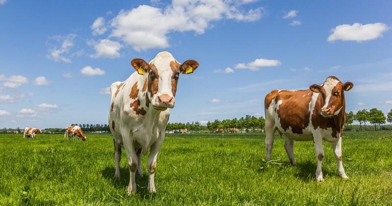 Definitie melkvee in beleidsregel fosfaatrechten onjuist