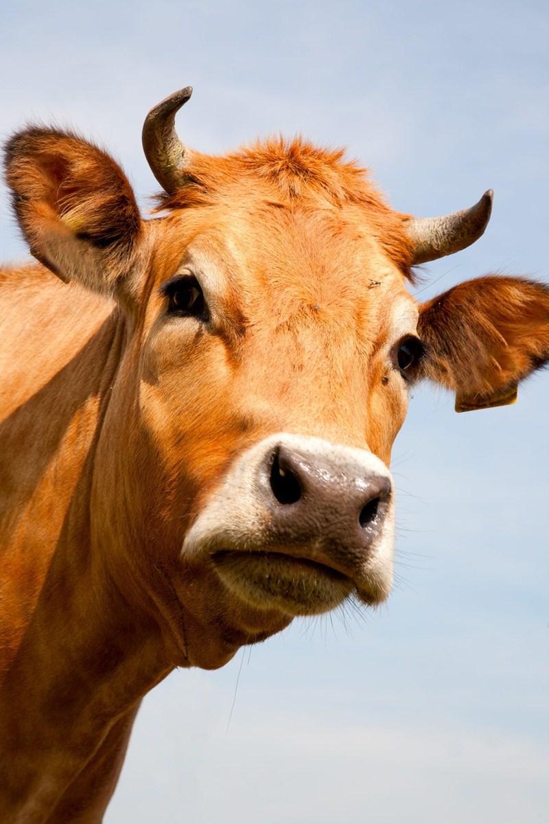 Subsidie voor melkkoeien van zeldzame runderrassen