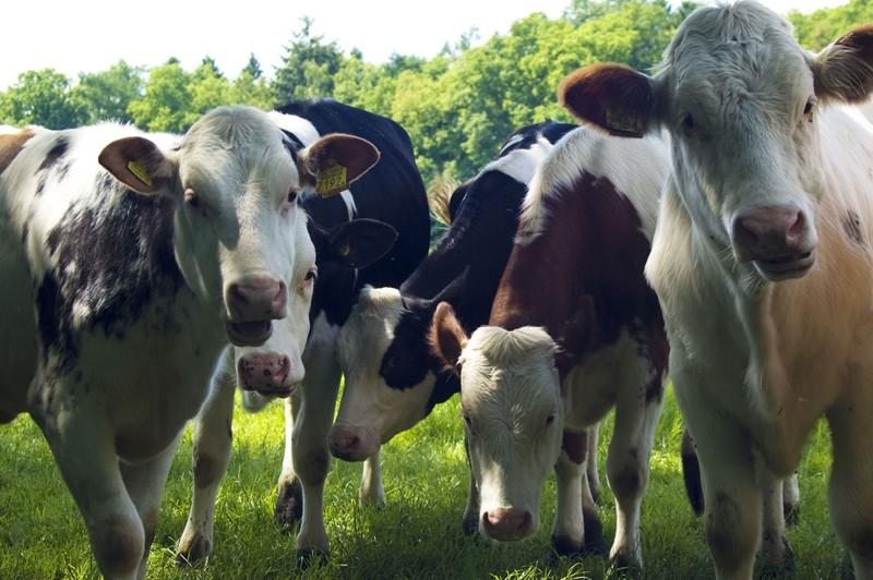 Minister trekt voermaatregel melkvee in